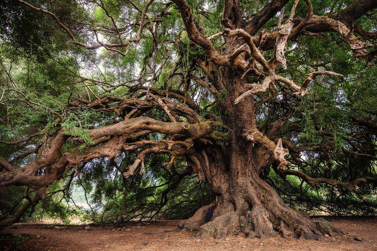 vieil arbre de gros diamètre
