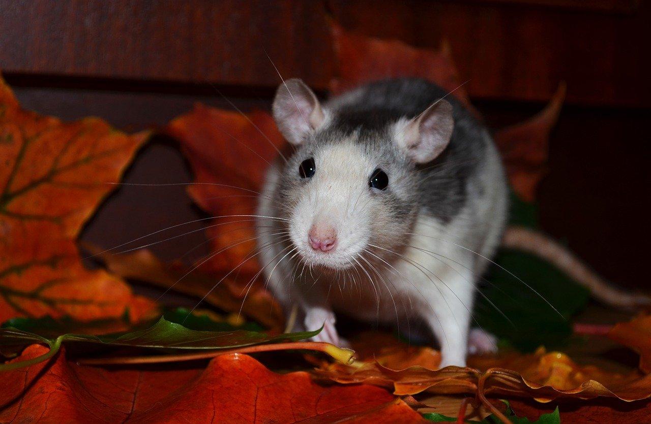 rat dans le compost