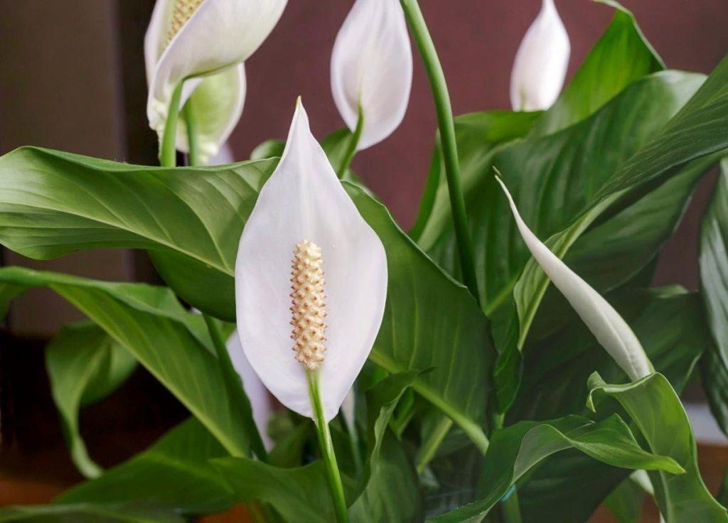 Spathiphyllum, Lys de Paix ou Fleur de lune